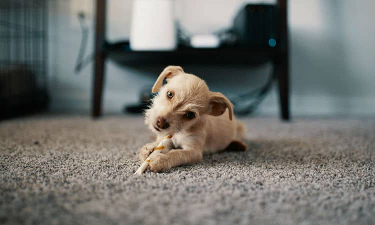 Tips For Removing Pet Urine Smell and Stains From Carpet